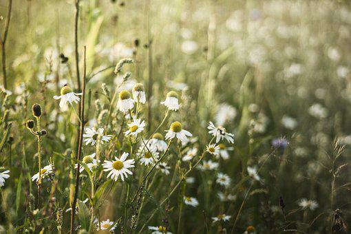 Sunset, Camomile, Meadow, Summer, Sunny Day, Nature