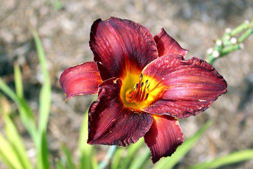 Plants, Flower, A Garden Plant, Daylilies, Nature