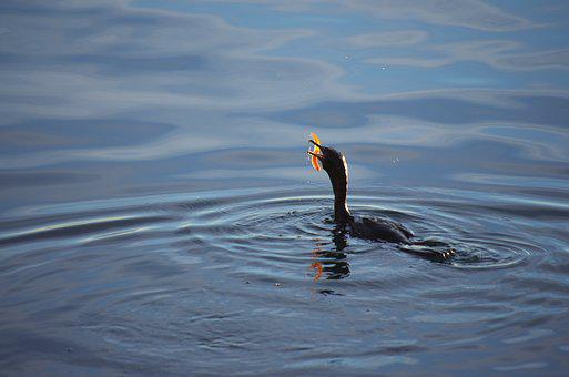Cormorant, Bird, Sea, Water, The Search For Food