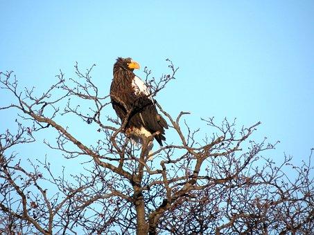 Steller's Sea Eagle, Predator, Eyes, Beak, Clutches