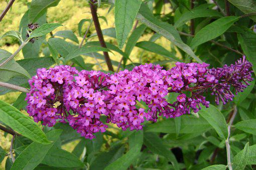 Butterfly Bush Royal Red Of David, Summer, Flowers