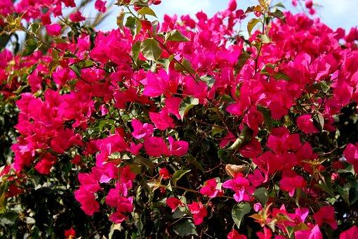 Bougainvillea, Magenta, Pink, Spain, Marbella, Summer