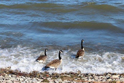 Birds, Bernikla Canadian, Wild Birds, Water, Lake