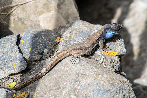 Lizard, Reptile, Animal, Nature, Wild, Wildlife, Skin
