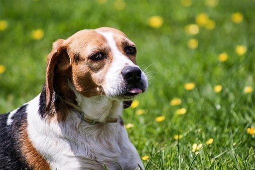 Dog, Beagle, Wildlife Photography, Portrait, Dog Look