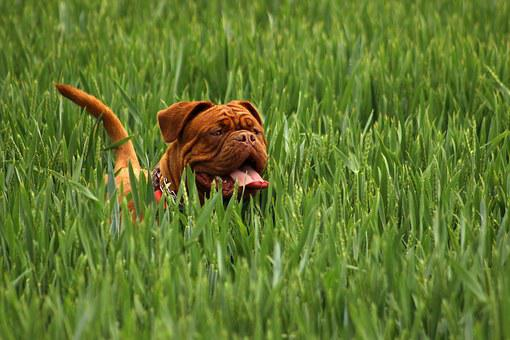Bordeaux, Mastiff, Dog, Animal, White, De, Mastiffs