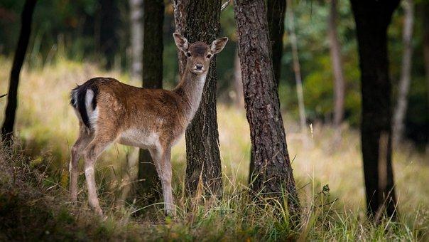 Fallow Deer, Dama Dama, Female, Tree, Forest, Nature