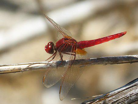 Red Dragonfly, Wetland, Cane, Dragonfly, Winged Insect