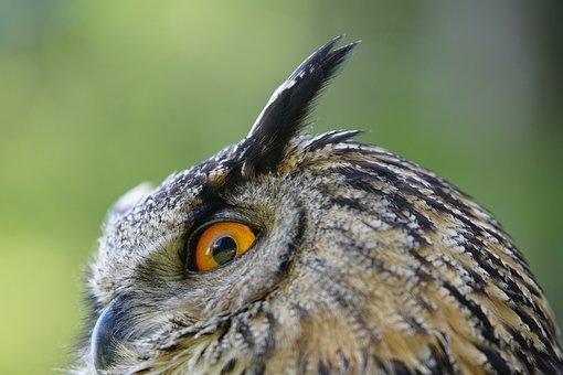 Owl, Real, Bird, Eagle-owl, Animals, Nature, Eye