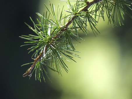 Larch, Branch, Nature, Green, Forest