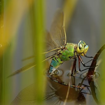Dragonfly, Hawker, Pond, Nature, Macro, Egg Laying