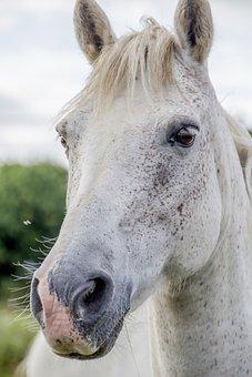 White Horse, Irish Horse, Horse, Irish, White, Black