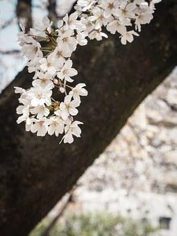 Cherry Blossoms, Japan, Flowers, Spring, Pink