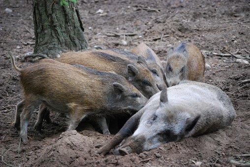 Wild Boars, Family, Bache, Little Pig