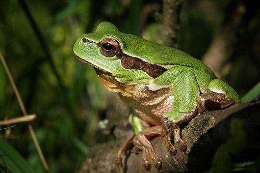 Tree-frog, Frog, Nature, Macro, Green, Amphibian, Bush