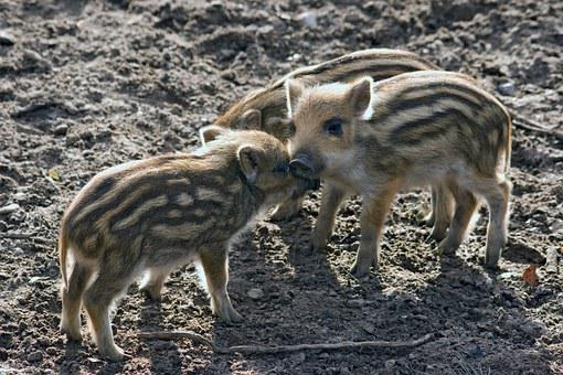 Wild, Wild Boars, Forest, Nature, Little Pig