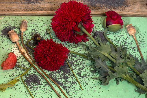 Poppy, Poppy Garden, Poppy Capsules, Seeds, Poppy Seeds