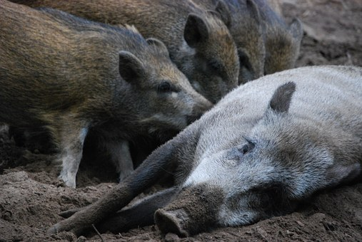 Wild Boars, Little Pig, Bache, Family