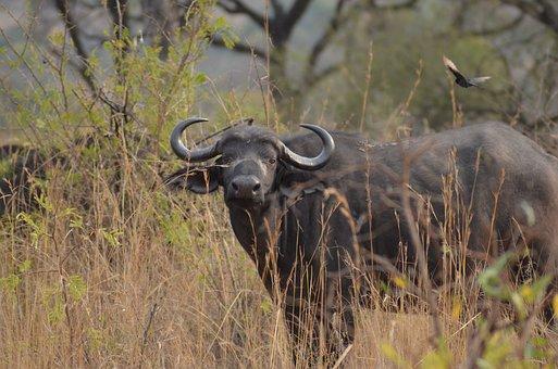 Buffalo, Africa, Safari, Wilderness, Nature