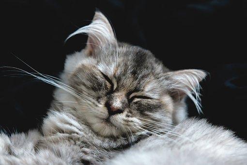Cat, Persian, Cute, Pet, Animal, Kitten, Kitty, Feline