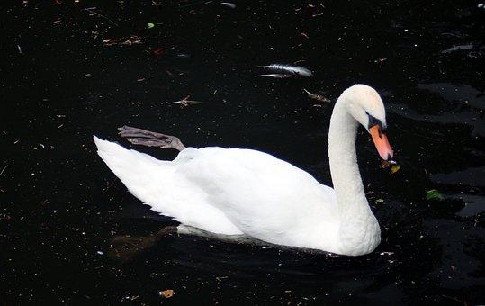 Swan, Bird, Water Bird, Animal, Water, Lake, White
