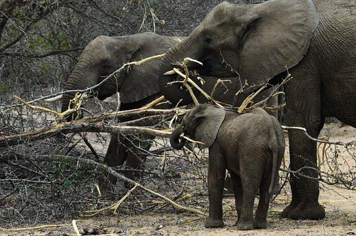 Elephant, Baby Elephant, African Bush Elephant
