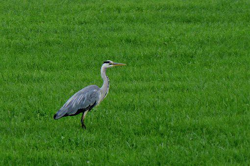 Bird, Heron, Nature, Fly, Bill, Meadow, Feather