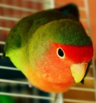 Pet, Bird, Parrot, Lovebird, Animal, Poultry, Birds