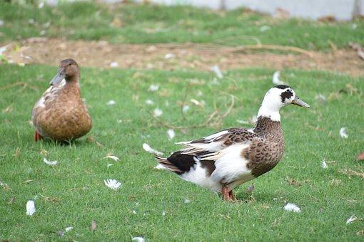 Brown Ducks, Perching, Bird, Preening
