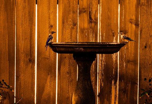 Eastern Bluebirds, Birdbath, Landscape
