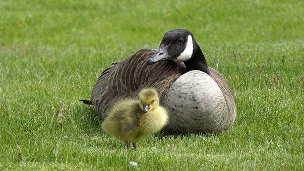 Wild Birds, Fauna, Duck, Shell, Mom Kacza, Chick, Grass