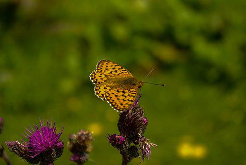 Butterfly, Nature, Close, Butterfy, Pointed Flower