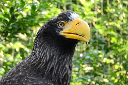 Eagle Eastern, Haliaeetus Pelagicus, Eagle, Head, Zobík