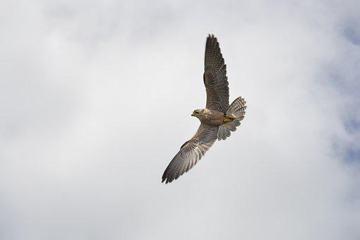 Falk, Bird Of Prey, Attack