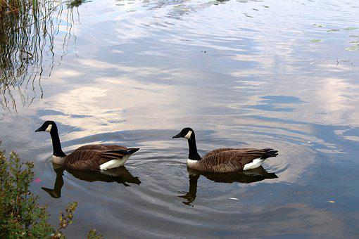 Fauna, Birds, Wild Birds, Ducks, Shell, Lake, Nature