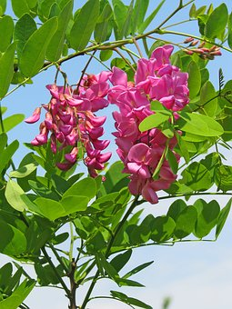Pink Acacia, Acacia, Flowers, Pink Flower, Green Leaves