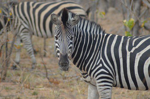 Zebra, Africa, Safari, National Park, Wild Animal