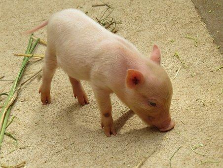 Animal, Pig, Piglet, Pink, Curly Tail, Minnischwein