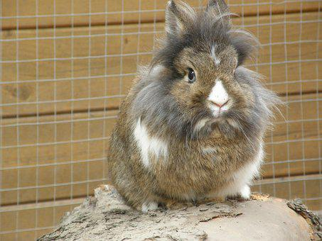 Rabbit, Hare, Lion Head, Mammal, Rodent, Pet