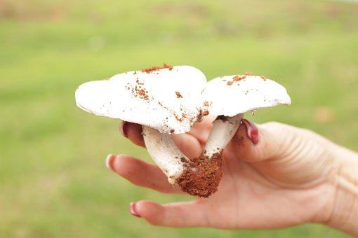 Fungi, Mushroom, Mexican Cuisine, Rains, Food órganica