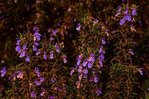 Rosemary, Garden, Herb, Landscape