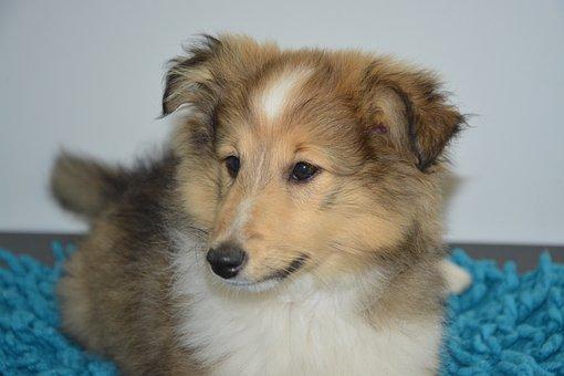 Shepherd Shetland, Dog, Domestic Animal, Puppy