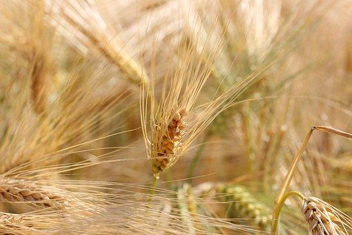Wheat, Field, Cereals, Spike, Harvest, Wheat Field