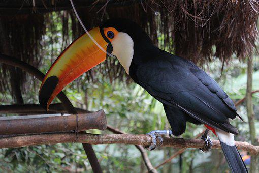 Tucano, Fauna, Brazil, Nature, Bird, Long Spout