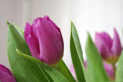 Tulip, Tulipa, Mauve, Plant, Flower, Bulb, Garden
