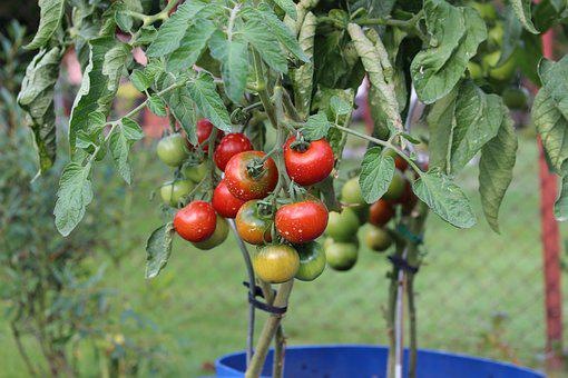 Tomatoes, Plant, Garden, Vegetables, Food, Insecticide