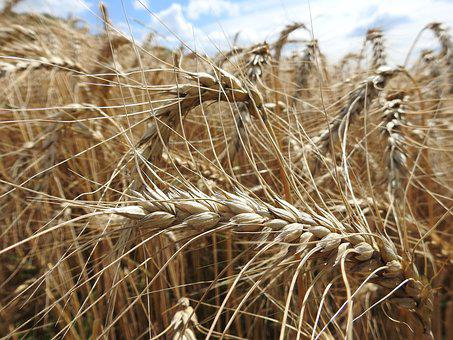 Wheat, Agriculture, Cereals, Field, Wheat Field, Grain