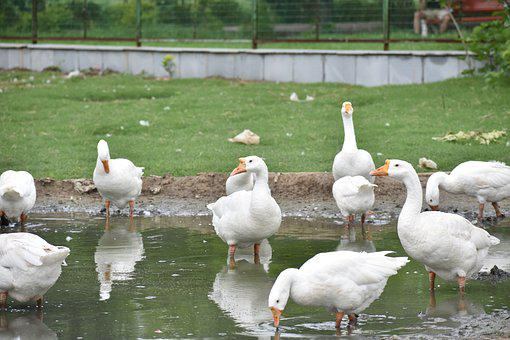 Ducks, Reflection In Water, Pond, White Ducks, Group
