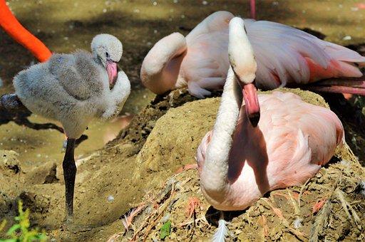 Flamingo, Young Animal, Bird, Chicks, Young Flamingo