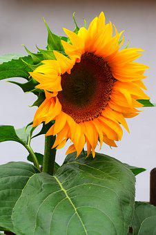 Sun Flower, Flowers, Blossom, Bloom, Yellow, Summer